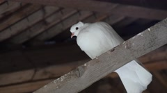 White Dove Under The Roof Stock Footage