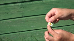 Girlfriend hands tear off daisy flower petals on green background. 4K Stock Footage