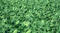 Sunflower Agriculture industry Stock Footage