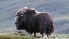 Huge adult muskox female standing beautifully scenery wind blowing in furry coat Stock Footage