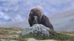 Huge adult muskox female laying down rock scenery wind blowing in furry coat Stock Footage