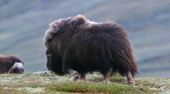 Huge adult muskox female walking beautifully scenery wind blowing in furry coat Stock Footage
