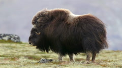 Huge adult muskox female standing shake body scenery wind blowing in furry coat Stock Footage