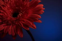Very beautiful orange flower on a blue background close-up Stock Photos