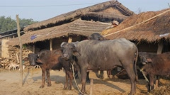 Water buffalos on farm,Chitwan,National Park,Nepal Stock Footage