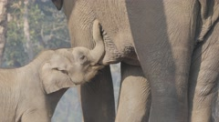 Baby Elephant drinking milk with mother,Chitwan,National Park,Nepal Stock Footage