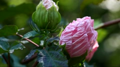A close up of pink Hibiscus flowers blooming in summer season Stock Footage