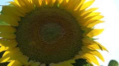 Agriculture industry ,Sunset on Sunflower 3.mp4 Stock Footage