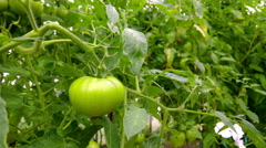 Green tomato on branch, 4K Stock Footage