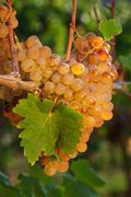 Agricola sada - vigne cultura uva tardiva Stock Photos
