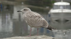 Seagull standing on a harbour wall Stock Footage