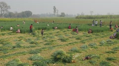 Village people harvesting wheat,Kushinagar,India Stock Footage