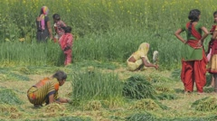Village people harvesting wheat,Kushinagar,India Stock Footage