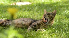 Cat lying and yawning in the grass Stock Footage
