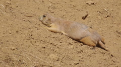 Prairie dog crouched down for safety  Stock Footage