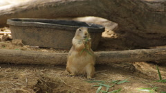 Prairie dog eating leaves with a bird Stock Footage