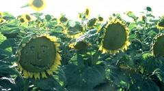 Sunset on Sunflower field ,sad smiley Stock Footage