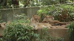 Lion waking up and making a big yawn while other lions sleep Stock Footage