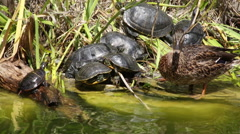 Turtles and ducks at the edge of a pond or lake Stock Footage