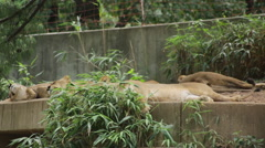 Lion waking up and sniffing the air for food Stock Footage