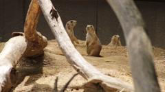 Group of three Prairie dogs Stock Footage