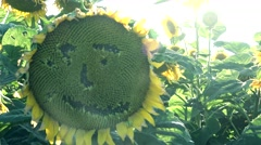 Sunflower field ,sad smiley sunflower Stock Footage