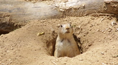 Prairie dog popping out of hole and looking around Stock Footage