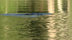 BEAVER DIVES IN SUNLIT WATER Stock Footage