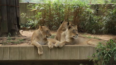 Lions looking around and getting sleepy Stock Footage