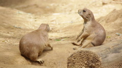Prairie dogs, one sitting, the other exploring Stock Footage