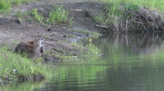 BEAVER SCRATCHES HIMSELF NEAR RIVER.  Stock Footage