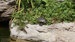 Turtle stuck in a bush struggling to get free Stock Footage