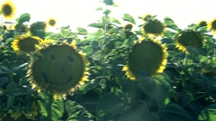 Smiley sunflower Sunset on Sunflower field  Stock Footage