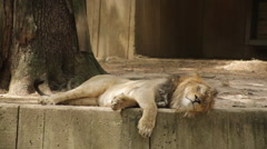 Lazy lion licking his lips Stock Footage