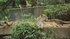 Lion licking her lips the laying down Stock Footage