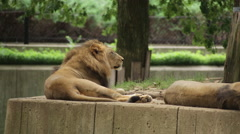 Tired lion falls down to go to sleep Stock Footage