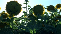 Sunset on Sunflower field ,smiley  Stock Footage