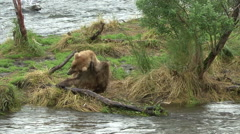 A Brown Bear scratches it's self at Brooks Falls, Alaska. Stock Footage
