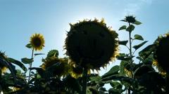 Smiley Sunset on Sunflower field  Stock Footage