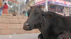 Cow ruminating on ghats,Varanasi,India Stock Footage