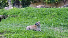 Spotted hyenas at zoo safari Stock Footage
