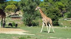 Giraffe walking at zoo safari Stock Footage