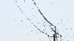 Swallows Fly and Sit on Wires Stock Footage