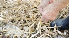 Shelling dried beans with hands Stock Footage