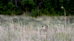 Rabbit hops across a New Mexico field Stock Footage
