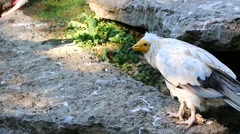 Egyptian Vulture Looking Around Stock Footage