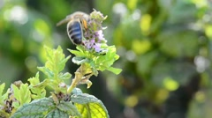 Bee on a peppermint plant Stock Footage