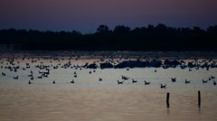 Silhouettes of pelicans and other birds foraging on water before dawn Stock Footage