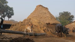 Young cow calf and haystack on farm,BodhGaya,India Stock Footage
