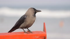Raven sitting on boat,Puri,India Stock Footage
